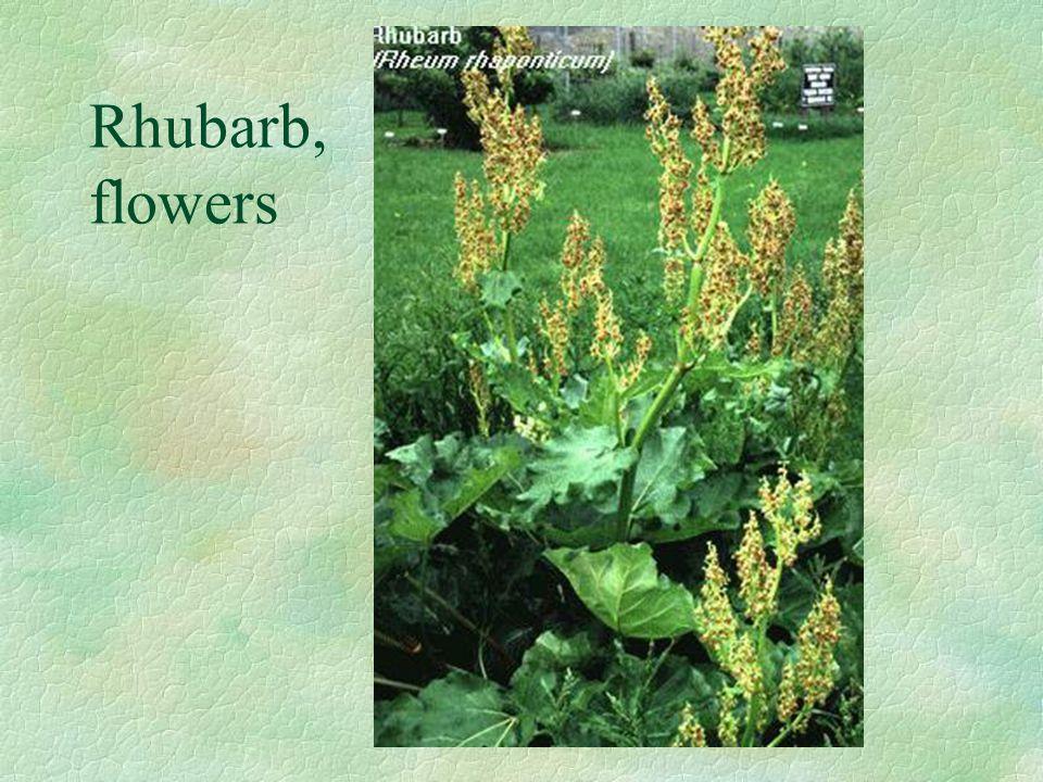 Rhubarb, flowers
