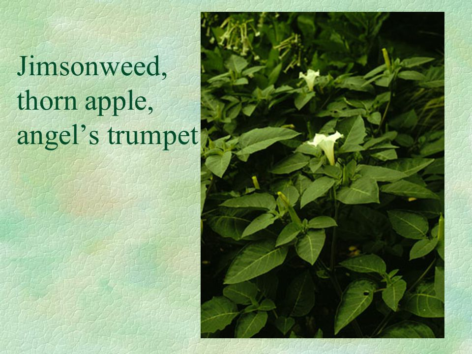 Jimsonweed, thorn apple, angel's trumpet