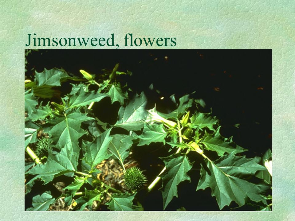 Jimsonweed, flowers