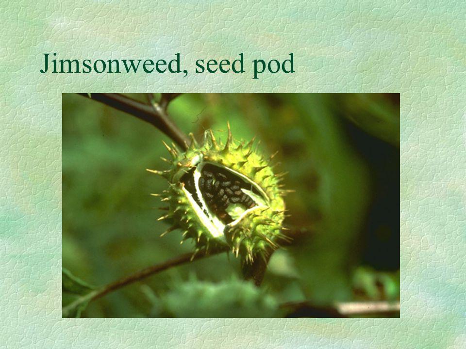 Jimsonweed, seed pod