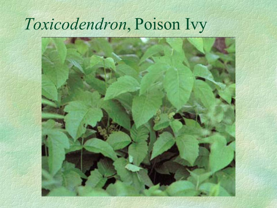 Toxicodendron, Poison Ivy