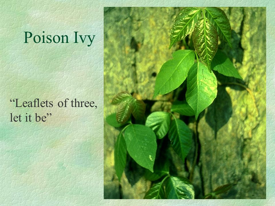 "Poison Ivy ""Leaflets of three, let it be"""