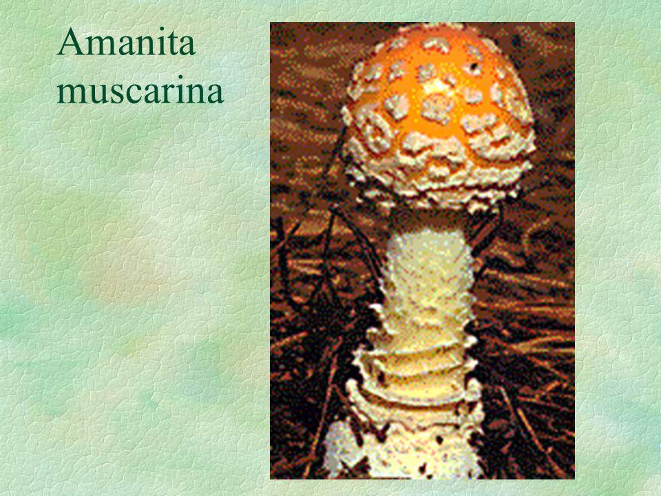 Amanita muscarina
