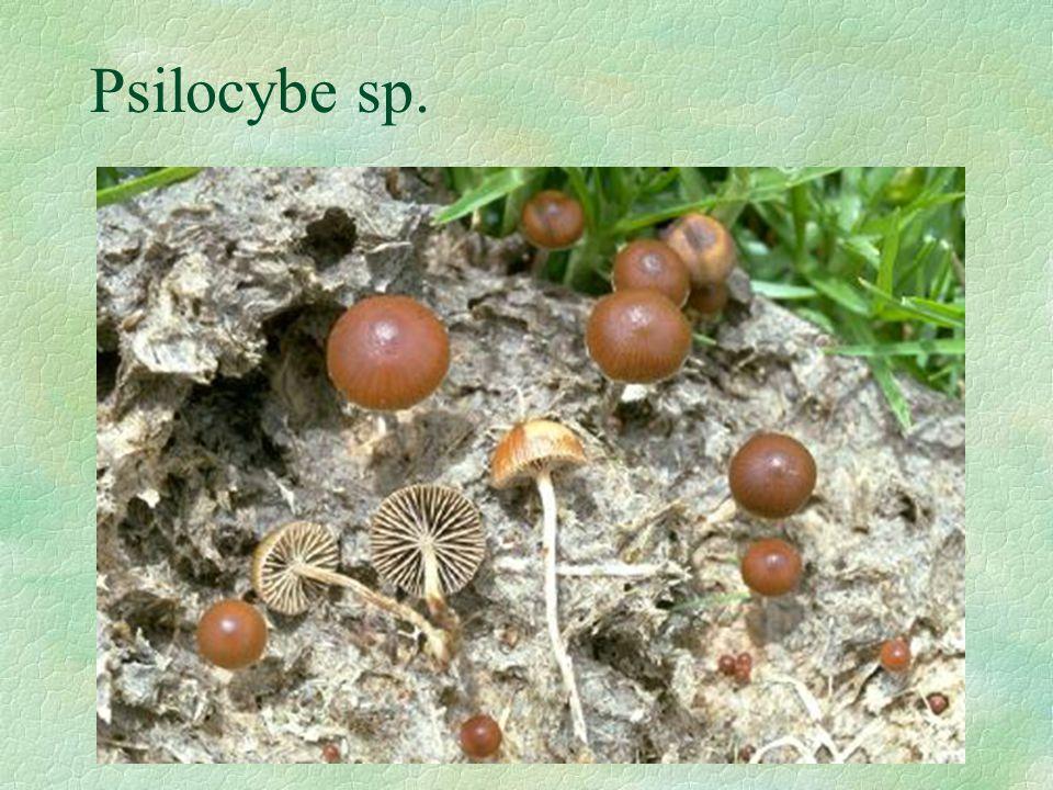 Psilocybe sp.