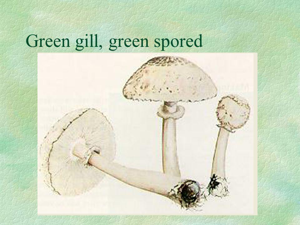 Green gill, green spored
