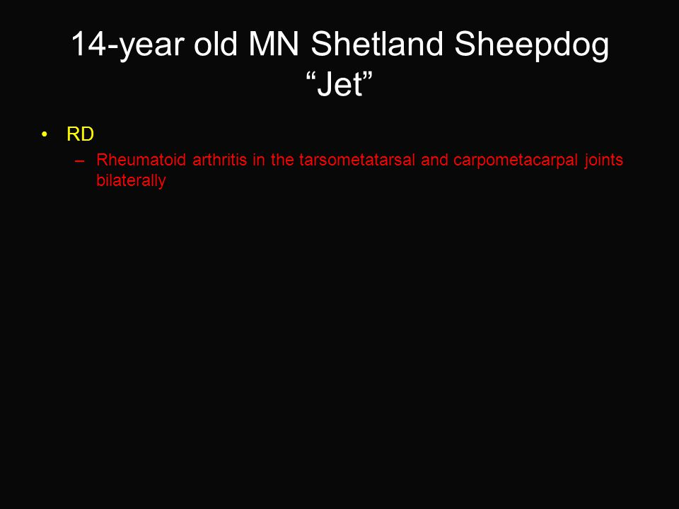 14-year old MN Shetland Sheepdog Jet RD –Rheumatoid arthritis in the tarsometatarsal and carpometacarpal joints bilaterally