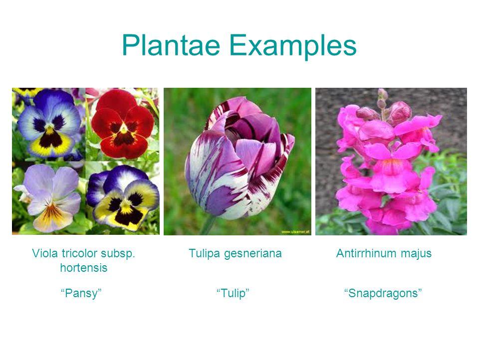 Plantae Examples Tulipa gesneriana Tulip Viola tricolor subsp.