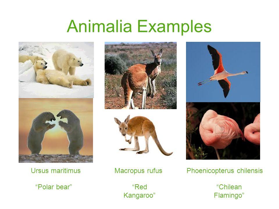 Animalia Examples Ursus maritimus Polar bear Macropus rufus Red Kangaroo Phoenicopterus chilensis Chilean Flamingo