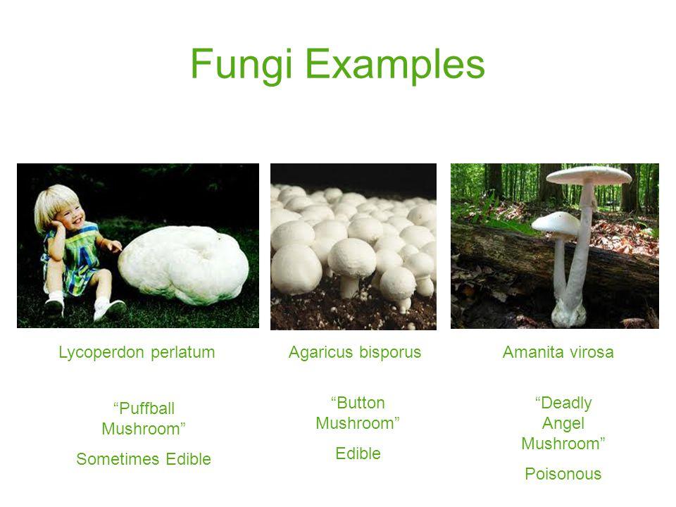 Fungi Examples Lycoperdon perlatum Agaricus bisporusAmanita virosa Button Mushroom Edible Puffball Mushroom Sometimes Edible Deadly Angel Mushroom Poisonous
