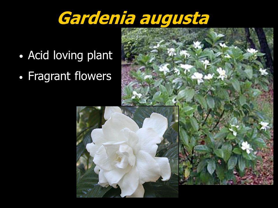 Gardenia augusta Acid loving plant Fragrant flowers