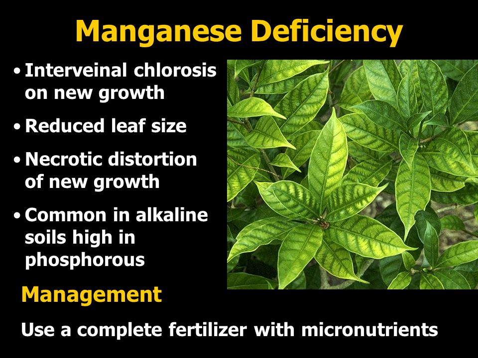Manganese Deficiency Interveinal chlorosis on new growth Reduced leaf size Necrotic distortion of new growth Common in alkaline soils high in phosphorous Management Use a complete fertilizer with micronutrients
