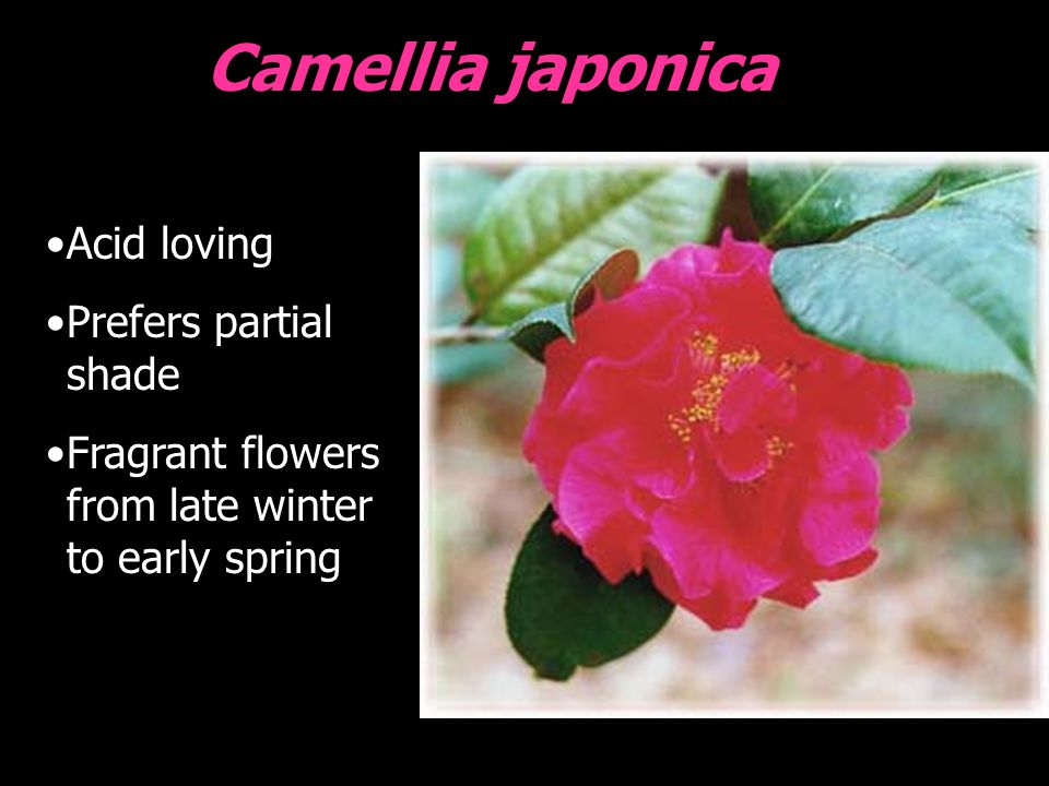 Camellia japonica Acid loving Prefers partial shade Fragrant flowers from late winter to early spring