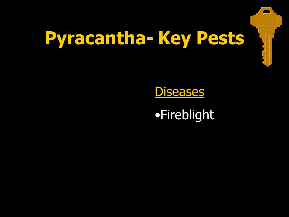 Pyracantha- Key Pests Diseases Fireblight