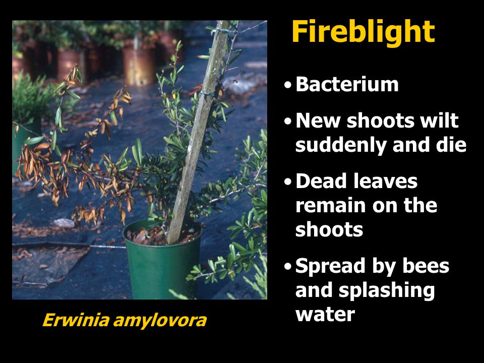 Bacterium New shoots wilt suddenly and die Dead leaves remain on the shoots Spread by bees and splashing water Erwinia amylovora