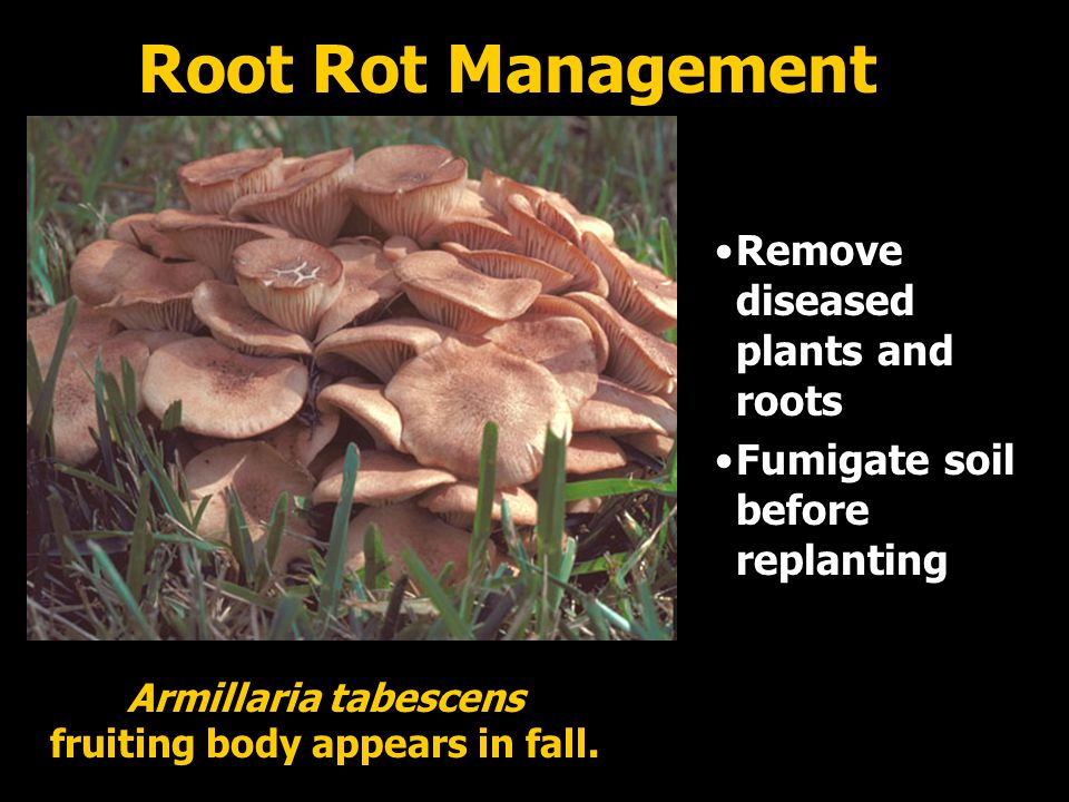Remove diseased plants and roots Fumigate soil before replanting Root Rot Management Armillaria tabescens fruiting body appears in fall.