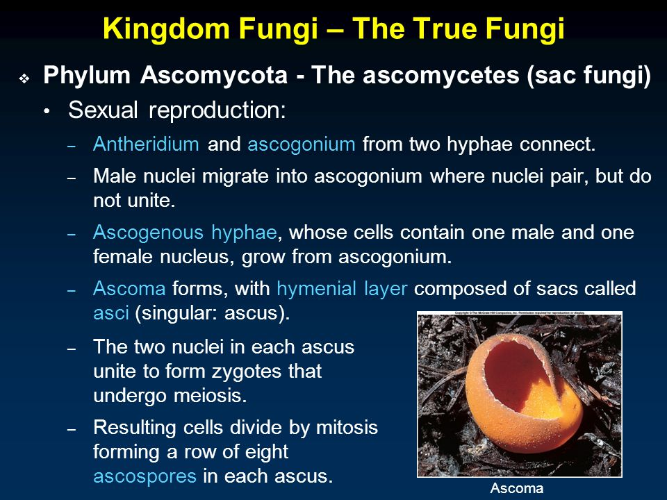 Kingdom Fungi – The True Fungi  Phylum Ascomycota - The ascomycetes (sac fungi) Sexual reproduction: – Antheridium and ascogonium from two hyphae connect.