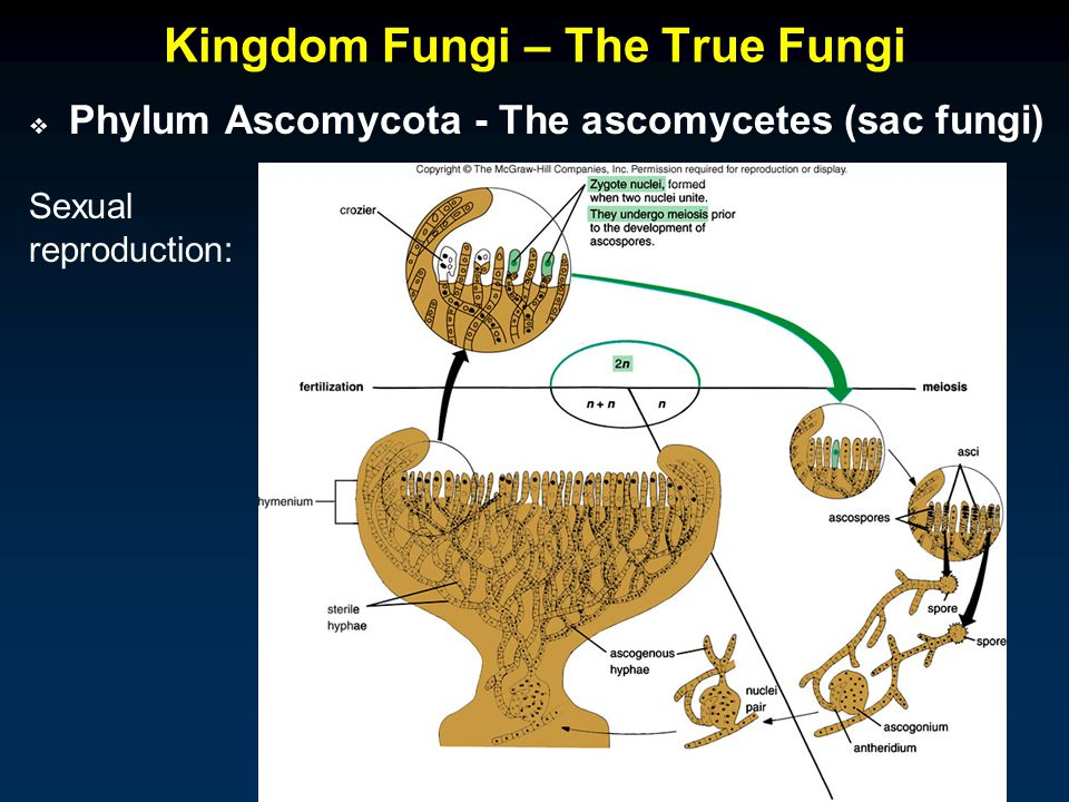 Kingdom Fungi – The True Fungi  Phylum Ascomycota - The ascomycetes (sac fungi) Sexual reproduction: