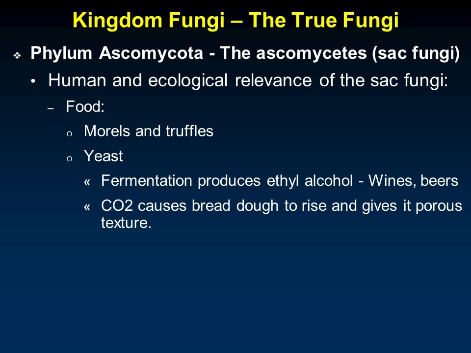Kingdom Fungi – The True Fungi  Phylum Ascomycota - The ascomycetes (sac fungi) Human and ecological relevance of the sac fungi: – Food: o Morels and truffles o Yeast « Fermentation produces ethyl alcohol - Wines, beers « CO2 causes bread dough to rise and gives it porous texture.