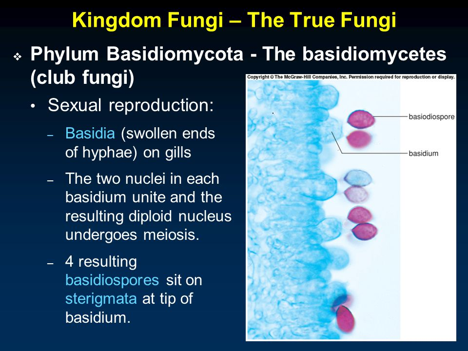 Kingdom Fungi – The True Fungi – Basidia (swollen ends of hyphae) on gills – The two nuclei in each basidium unite and the resulting diploid nucleus undergoes meiosis.