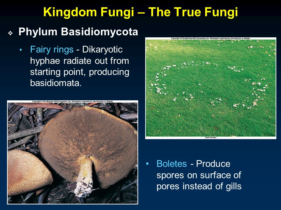 Kingdom Fungi – The True Fungi Fairy rings - Dikaryotic hyphae radiate out from starting point, producing basidiomata.