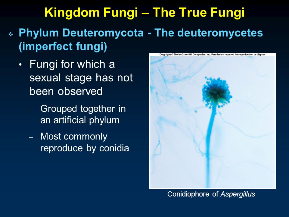 Kingdom Fungi – The True Fungi  Phylum Deuteromycota - The deuteromycetes (imperfect fungi) Fungi for which a sexual stage has not been observed – Grouped together in an artificial phylum – Most commonly reproduce by conidia Conidiophore of Aspergillus