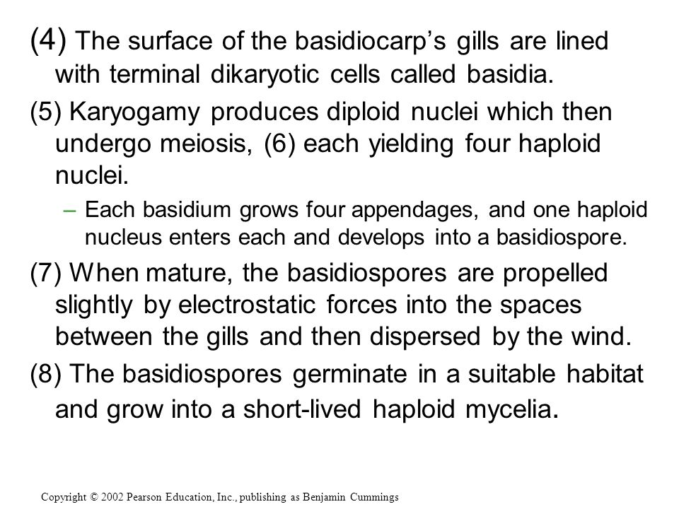 (4) The surface of the basidiocarp's gills are lined with terminal dikaryotic cells called basidia.