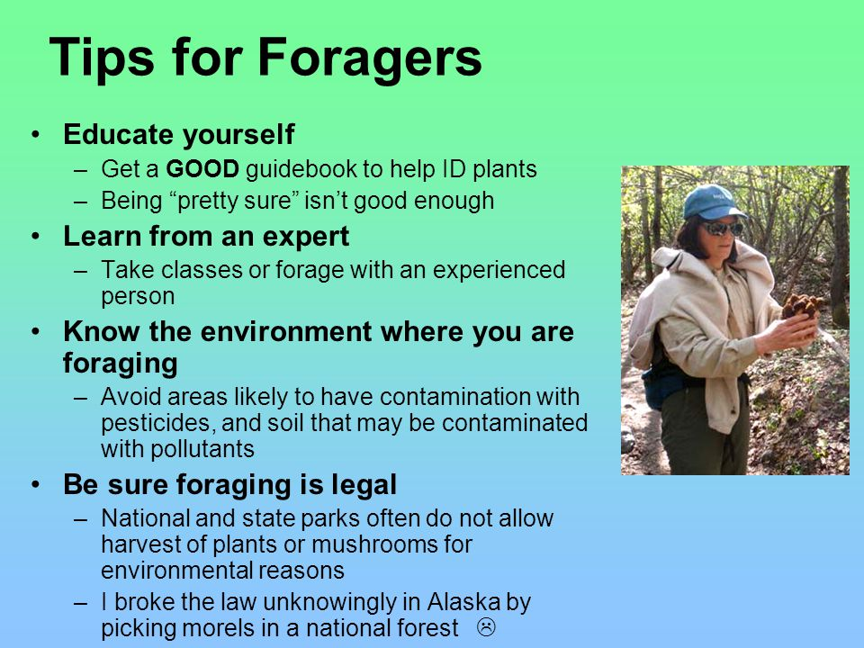 Tips for Foragers Educate yourself –Get a GOOD guidebook to help ID plants –Being pretty sure isn't good enough Learn from an expert –Take classes or forage with an experienced person Know the environment where you are foraging –Avoid areas likely to have contamination with pesticides, and soil that may be contaminated with pollutants Be sure foraging is legal –National and state parks often do not allow harvest of plants or mushrooms for environmental reasons –I broke the law unknowingly in Alaska by picking morels in a national forest 