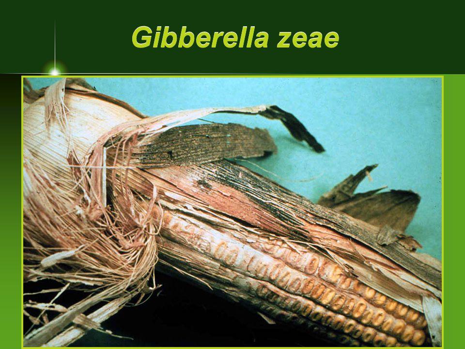 Gibberella zeae