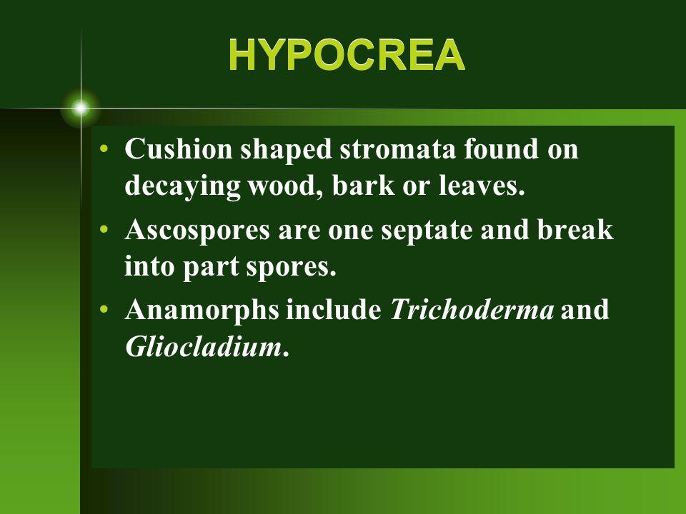 Chestnut blight (Cryphonectria parasitica [Murr.] Barr) on American chestnut tree (Castanea dentata [Marsh] Borkh.)