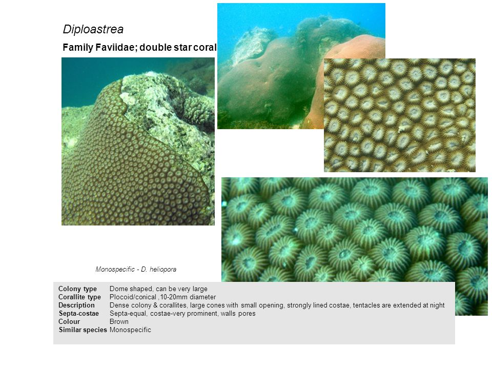 Diploastrea Colony type Dome shaped, can be very large Corallite typePlocoid/conical,10-20mm diameter Description Dense colony & corallites, large con