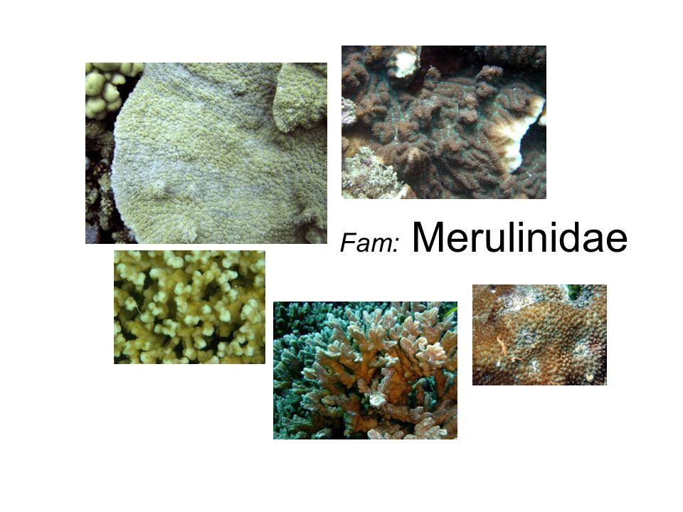 Fam: Merulinidae