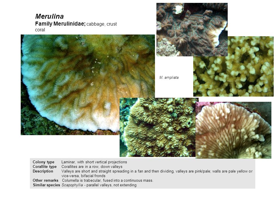 Merulina Colony type Laminar, with short vertical projections Corallite typeCorallites are in a row, down valleys Description Valleys are short and st
