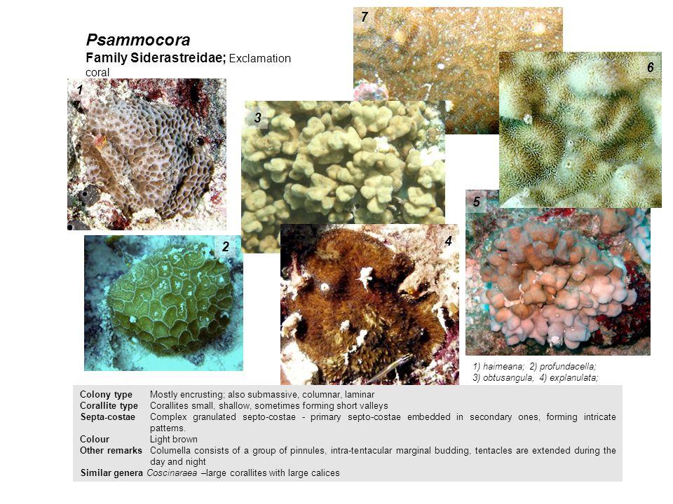 Psammocora 1) haimeana; 2) profundacella; 3) obtusangula, 4) explanulata; 5) stellulata; 6) nierstrazi (detail); 7) niestrazi 1 2 3 4 5 6 7 Family Sid