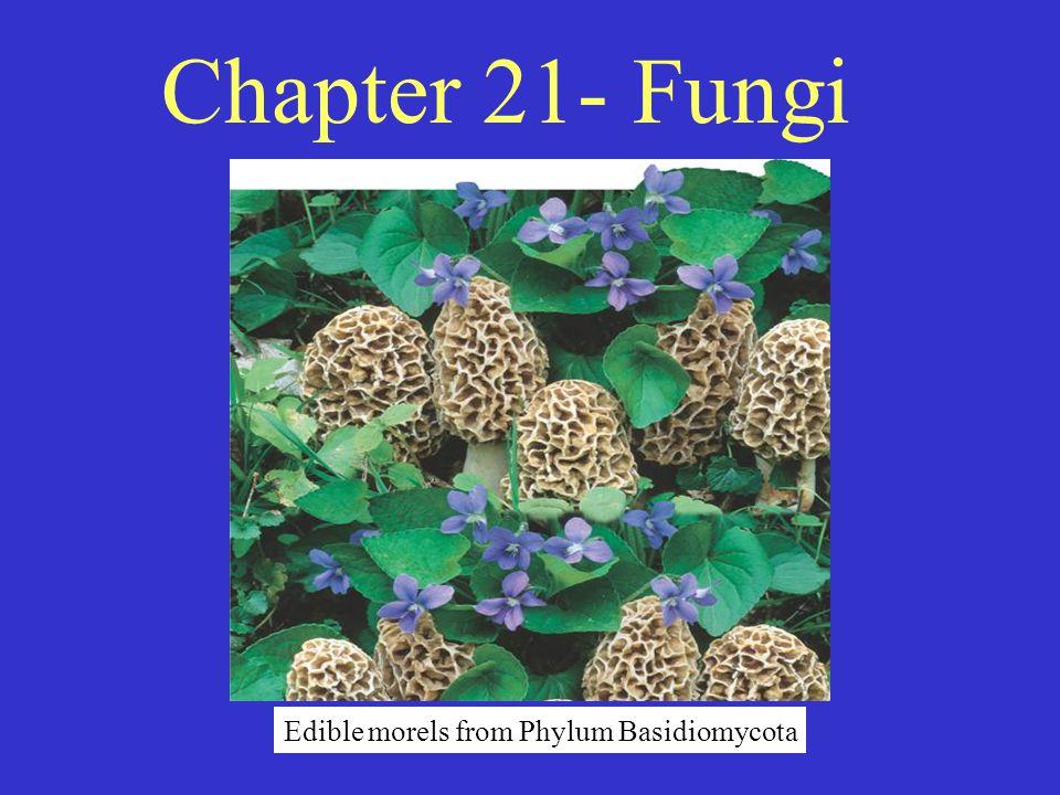 Chapter 21- Fungi Edible morels from Phylum Basidiomycota