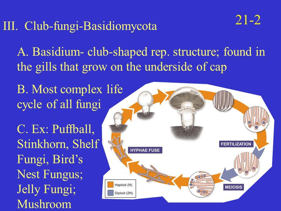 III.Club-fungi-Basidiomycota A. Basidium- club-shaped rep.
