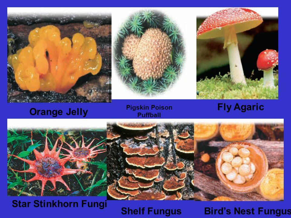 Orange Jelly Pigskin Poison Puffball Fly Agaric Star Stinkhorn Fungi Shelf FungusBird's Nest Fungus