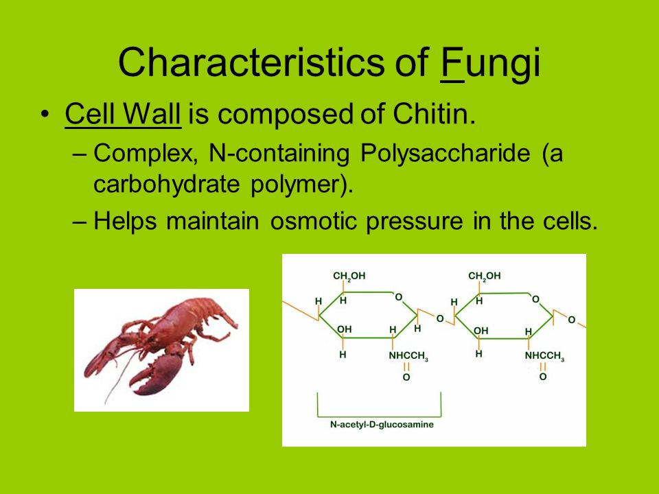 Characteristics of Fungi Cell Wall is composed of Chitin.