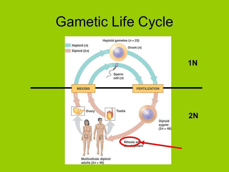Gametic Life Cycle 1N 2N