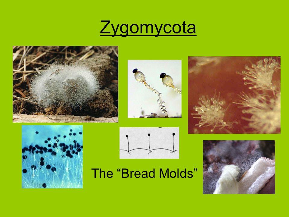 Zygomycota The Bread Molds