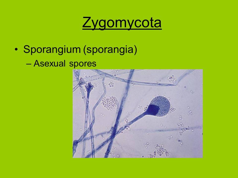 Sporangium (sporangia) –Asexual spores Zygomycota