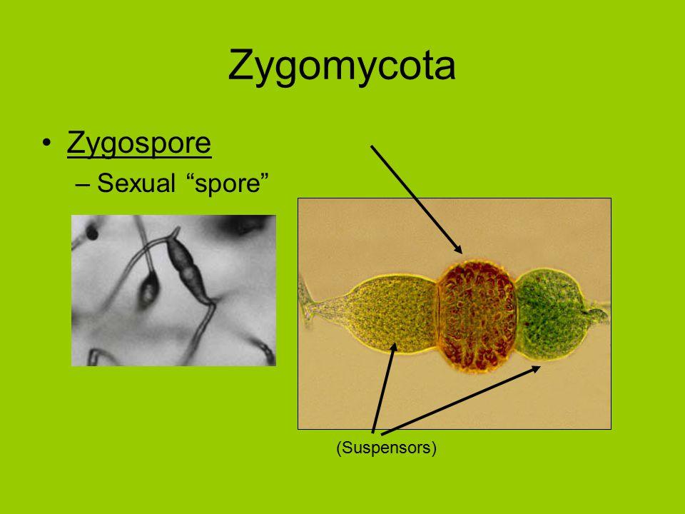 Zygospore –Sexual spore (Suspensors)