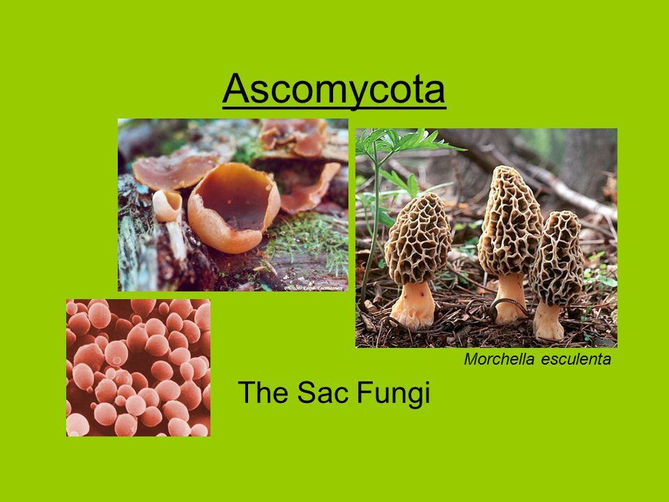 Ascomycota The Sac Fungi Morchella esculenta