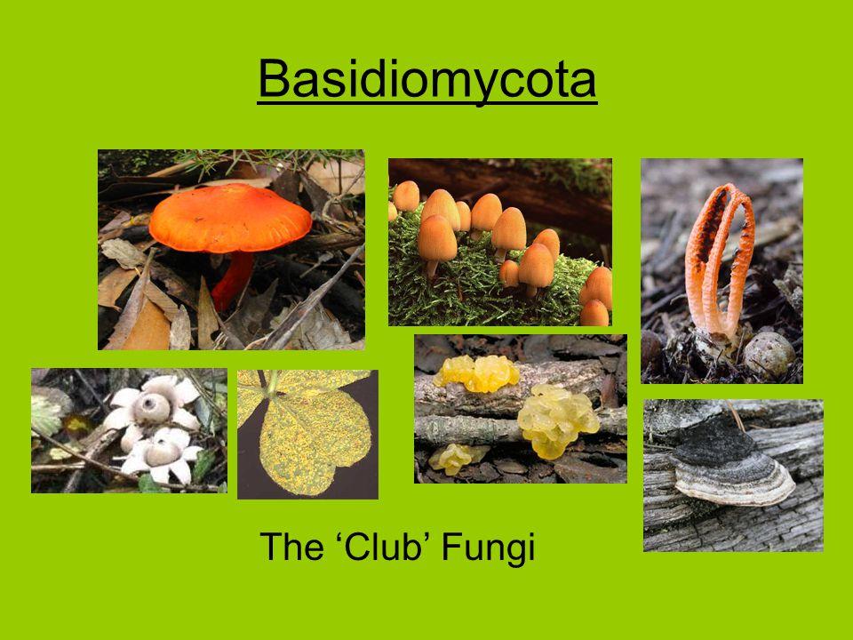 Basidiomycota The 'Club' Fungi