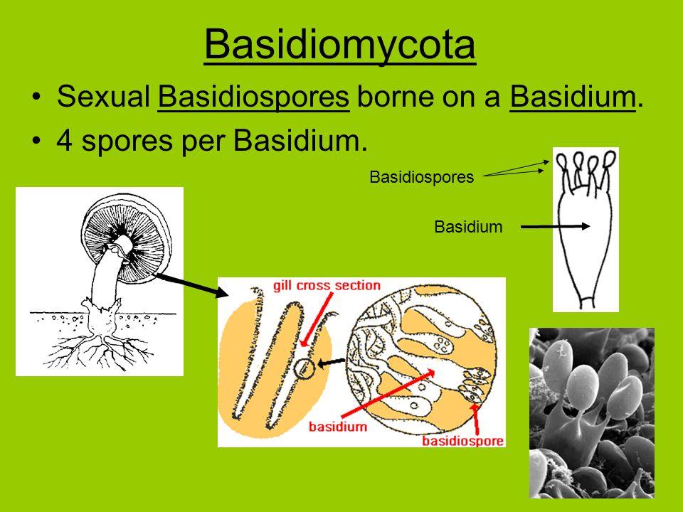Basidiomycota Sexual Basidiospores borne on a Basidium.