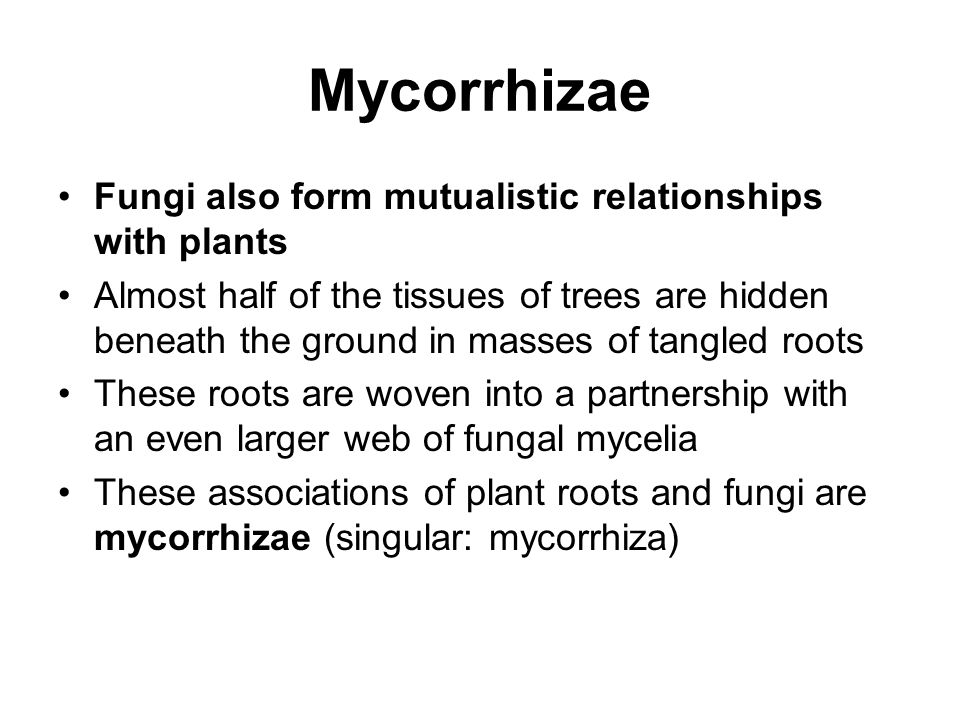 Mycorrhizae Fungi also form mutualistic relationships with plants Almost half of the tissues of trees are hidden beneath the ground in masses of tangl