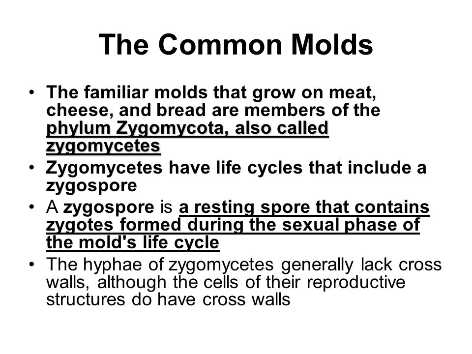 The Common Molds phylum Zygomycota, also called zygomycetesThe familiar molds that grow on meat, cheese, and bread are members of the phylum Zygomycot