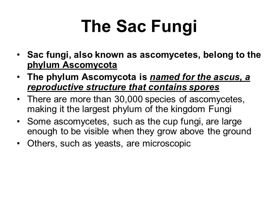 The Sac Fungi Sac fungi, also known as ascomycetes, belong to the phylum Ascomycota The phylum Ascomycota is named for the ascus, a reproductive struc