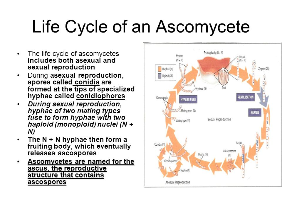 Life Cycle of an Ascomycete The life cycle of ascomycetes includes both asexual and sexual reproduction During asexual reproduction, spores called con