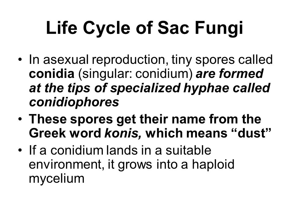 Life Cycle of Sac Fungi In asexual reproduction, tiny spores called conidia (singular: conidium) are formed at the tips of specialized hyphae called c