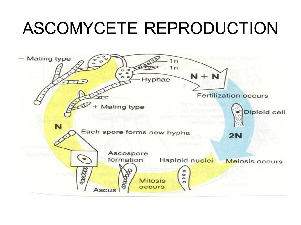 ASCOMYCETE REPRODUCTION